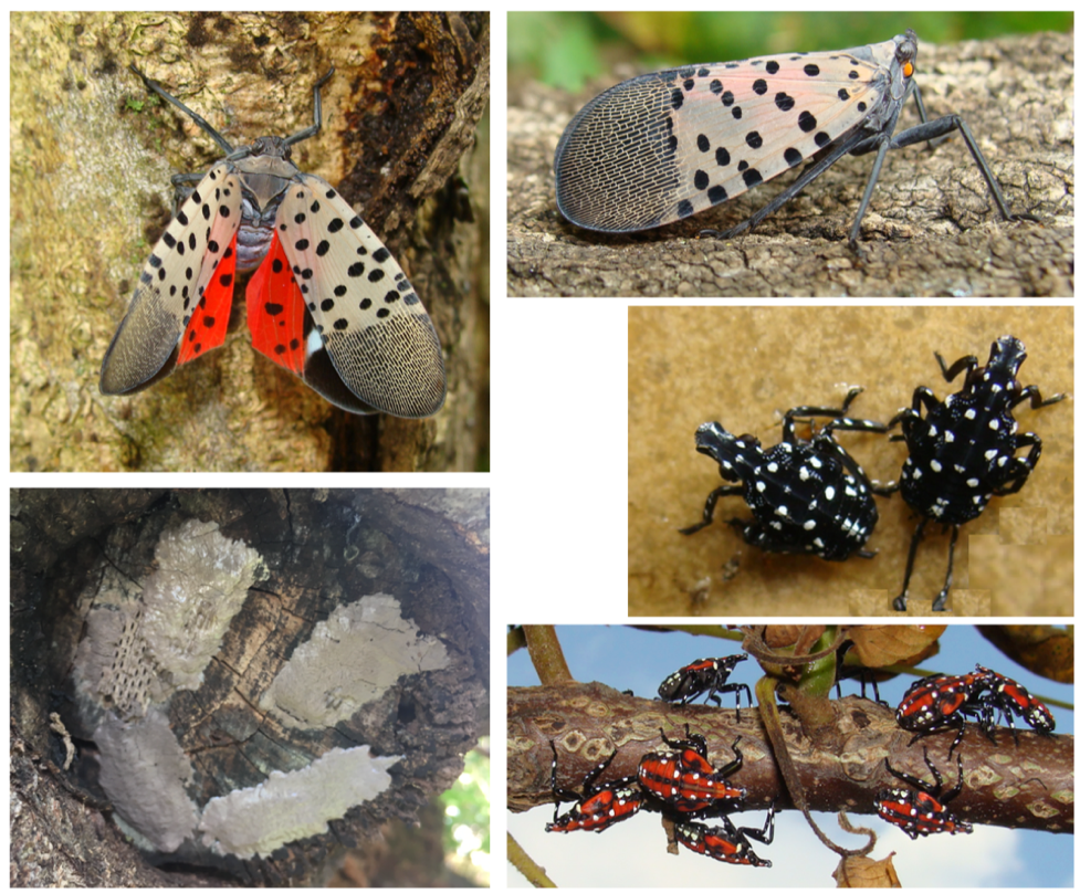 Invasive spotted lanternfly could affect area's fruit crops ...