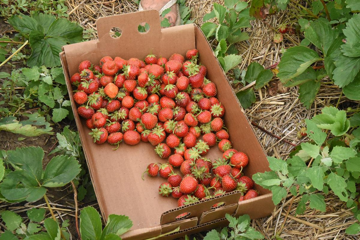 Sioux Center strawberries ripe and ready