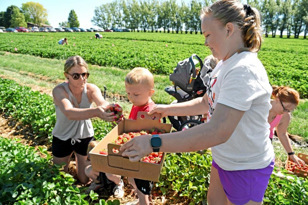Getting's Garden welcomes strawberry pickers
