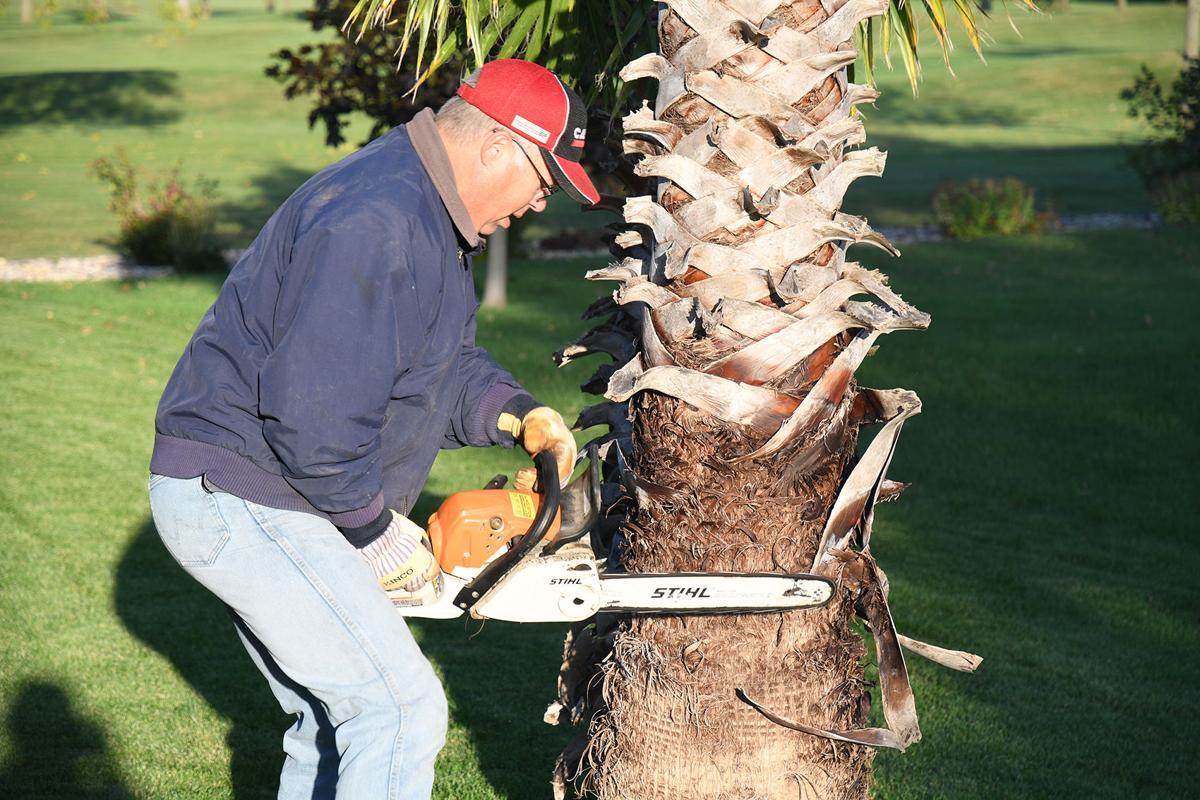 Dennis Poppen cuts down palm tree