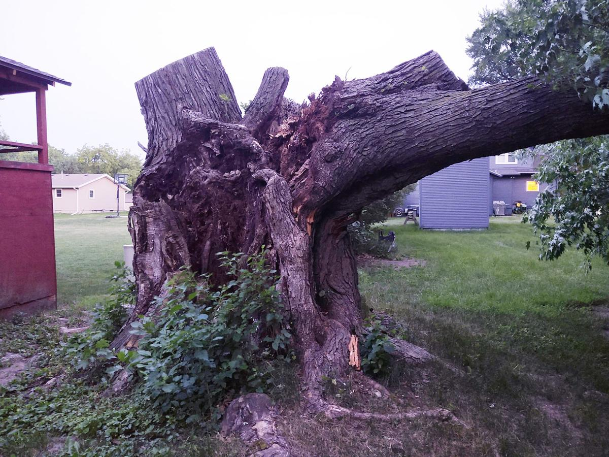 Old Sioux Center tree 2