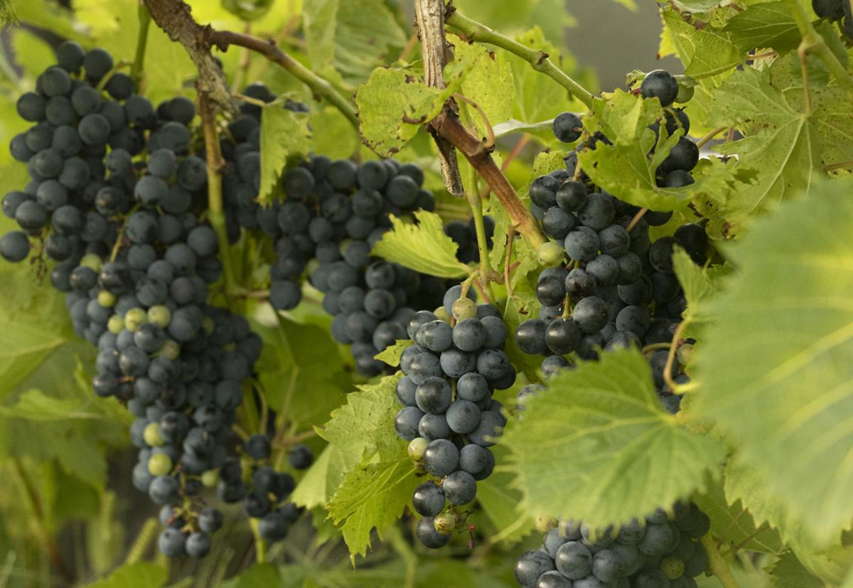 Vine and Wine Grapes