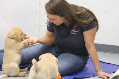 Puppies in AU's Canine Performance Science Program