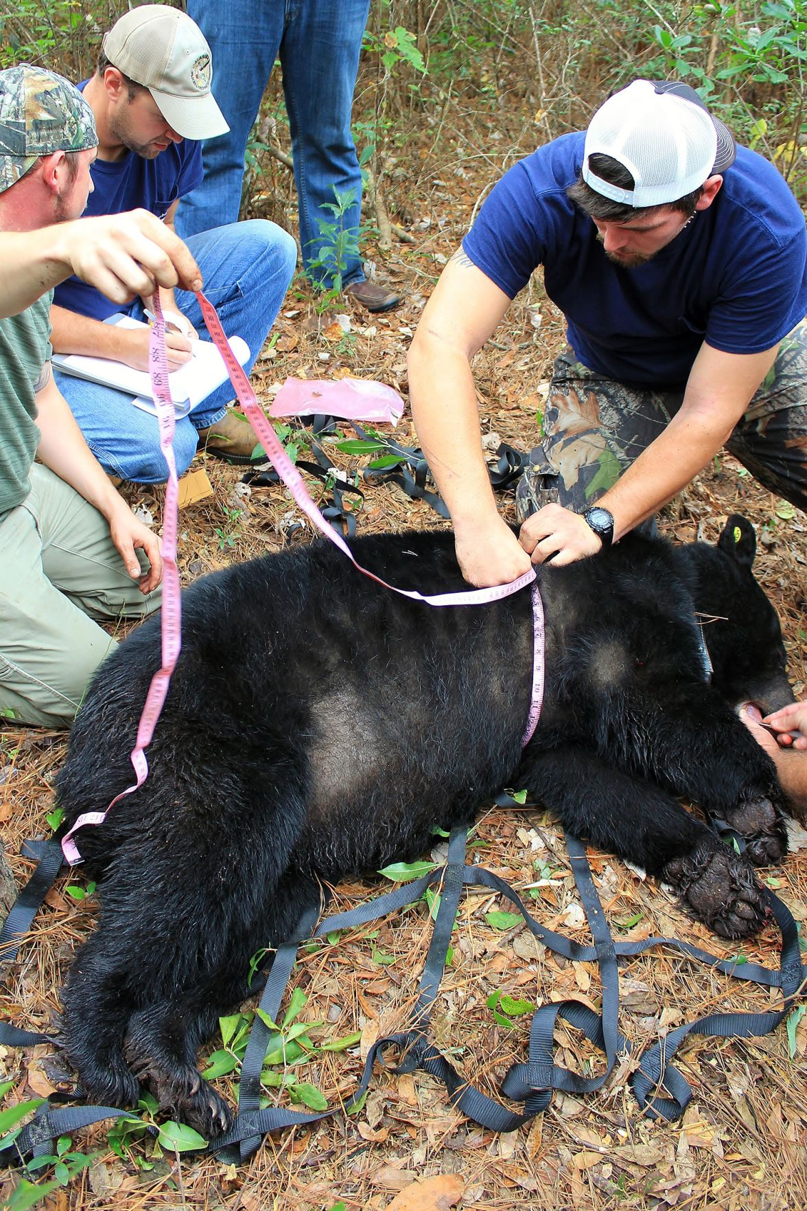 Alabama's black bears have some unusual habits - al.com