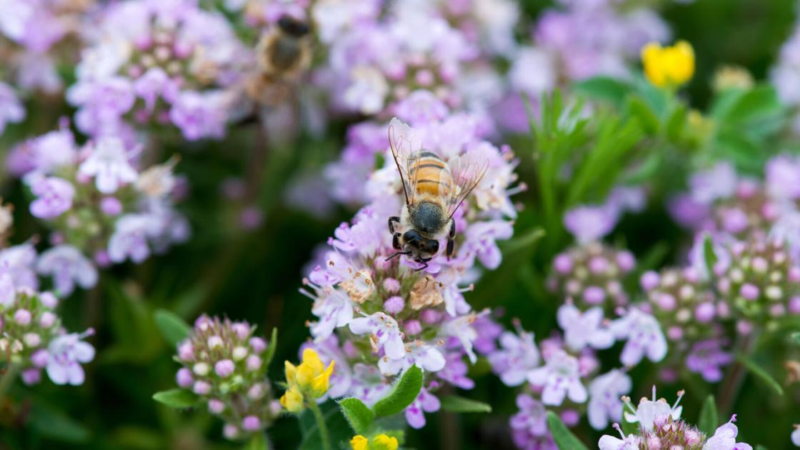 Earth Talk: What is a 'pollinator lawn' and how can I make one?
