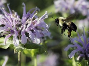 Weeklong celebration of bees, others pollinators kicks off Monday