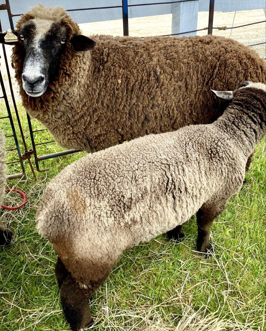 20210611_gcm_sheep.jpg