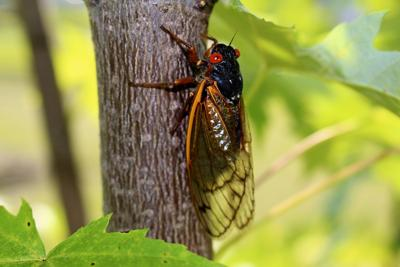 Cicada researcher departs as insects start to die off