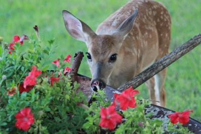 deer-eating-flowers.jpg