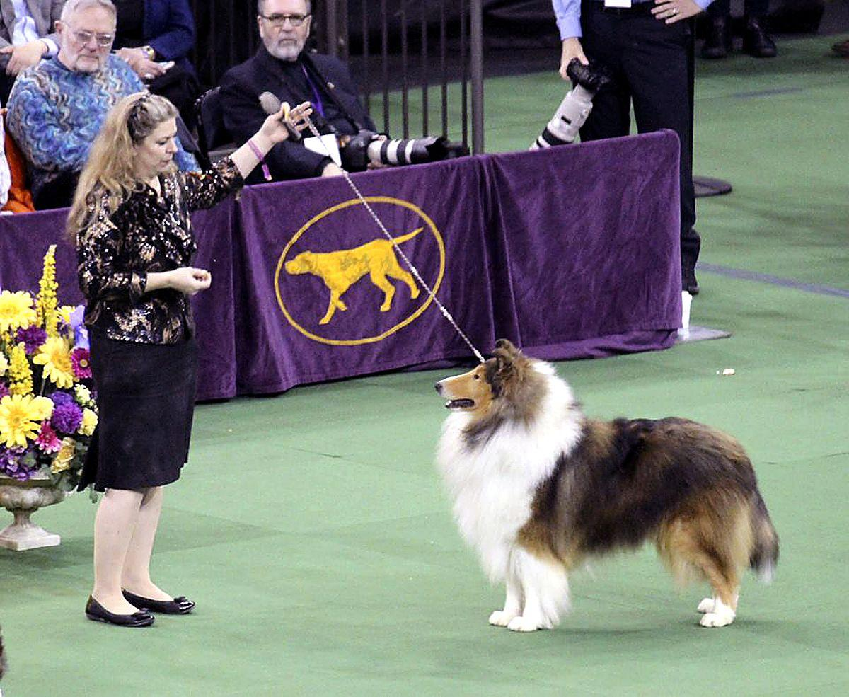 Rock Star' collie takes Westminster by storm | Local News | observer