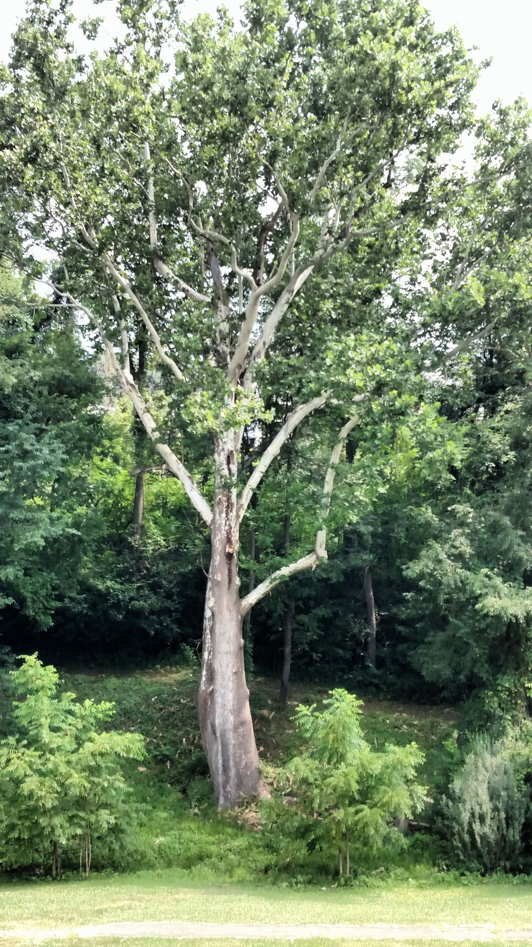 Town Park sycamore tree