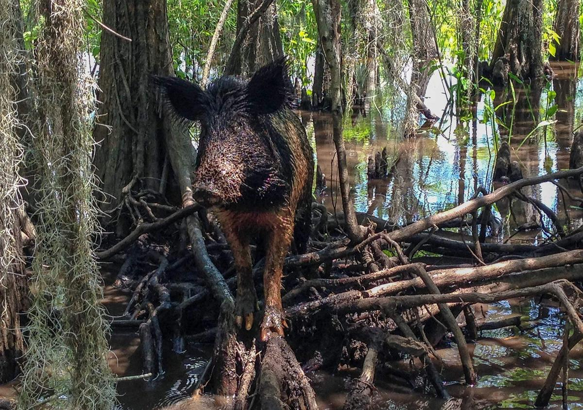 In some areas, hunters go hog wild about these animals