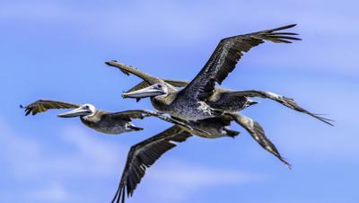 pelicans population.jpg