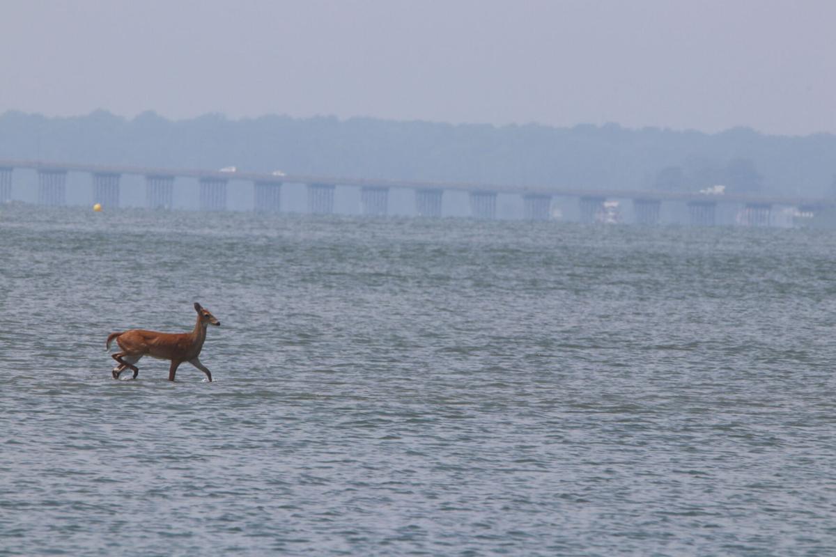 Deer in Isle of Wight Bay