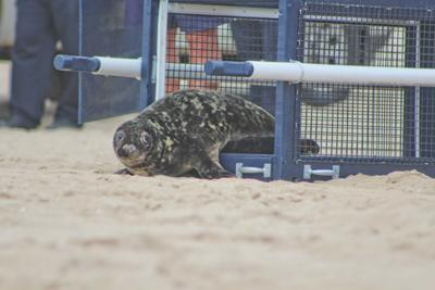 Two juvenile gray seals released back to sea