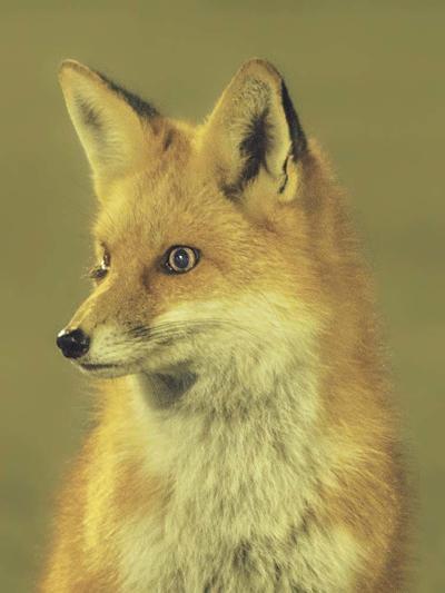 wild fox CU
