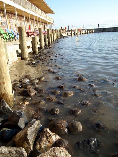 Horseshoe crab population studied