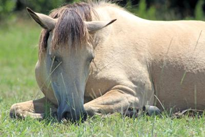 Teenager adopts entire Assateague pony herd for $3K