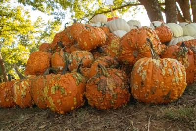 Warty pumpkins