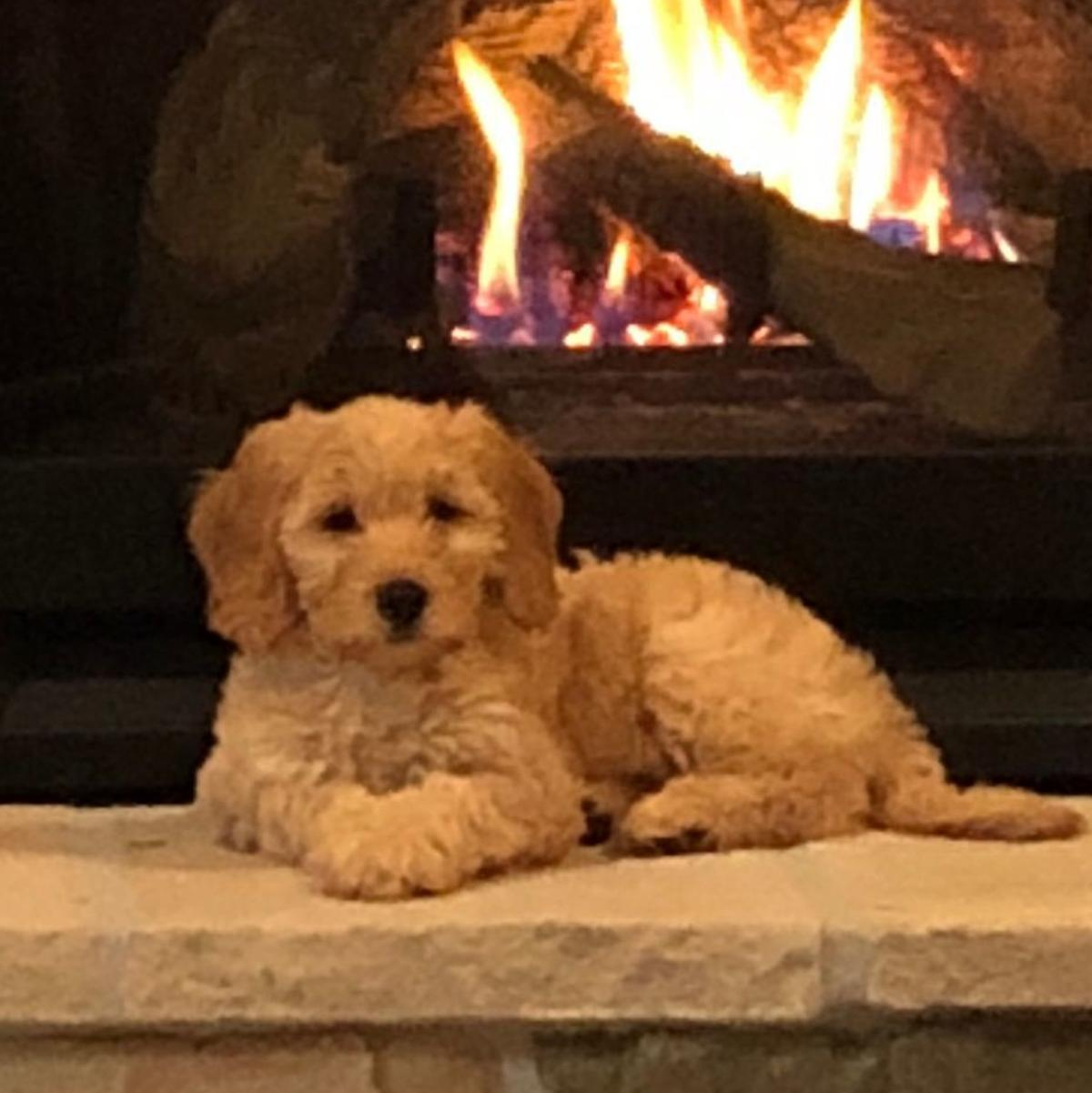 Ember The Goldendoodle Is Joining Papillion Fire Department