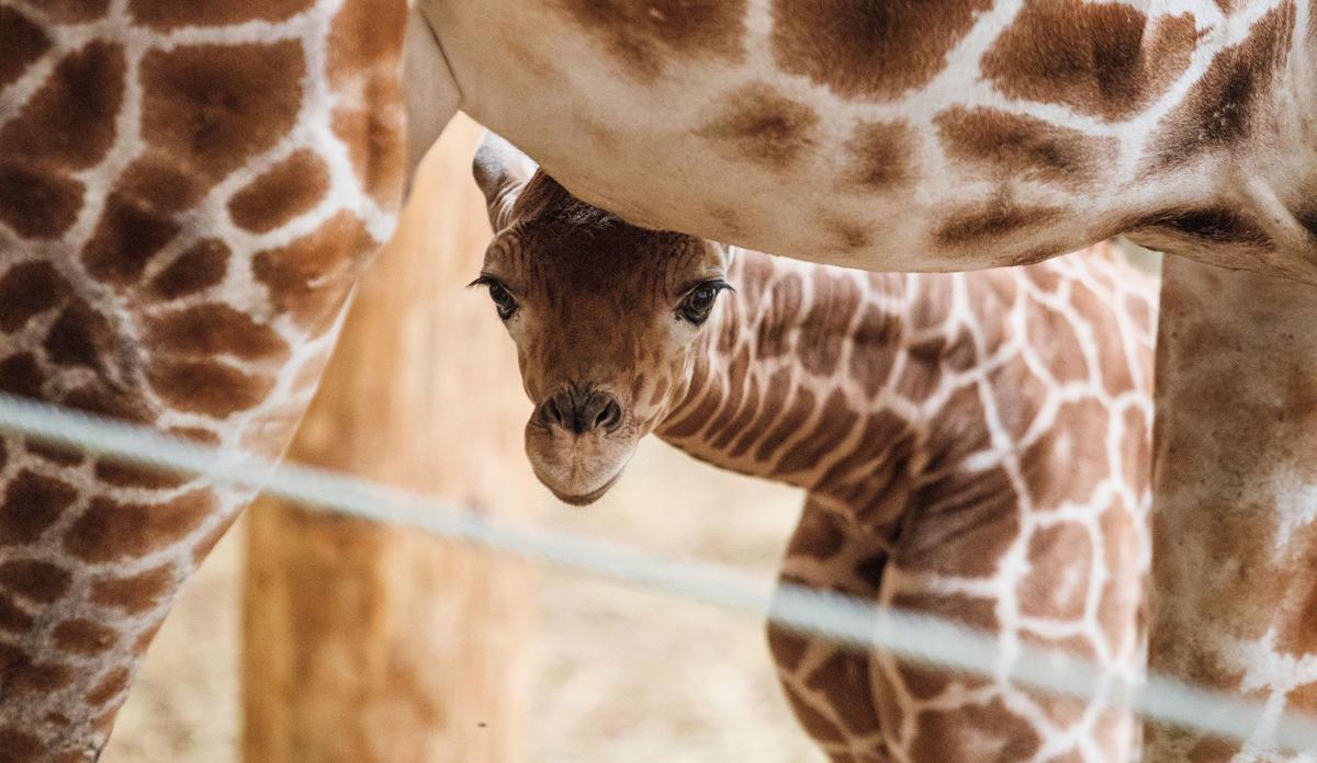 20190424_new_giraffe_pic9 (copy))))
