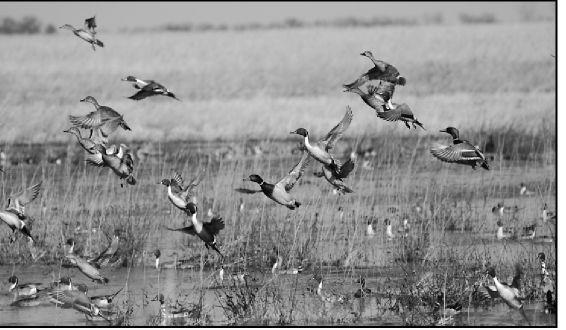 Migrating birds abundant at area refuges