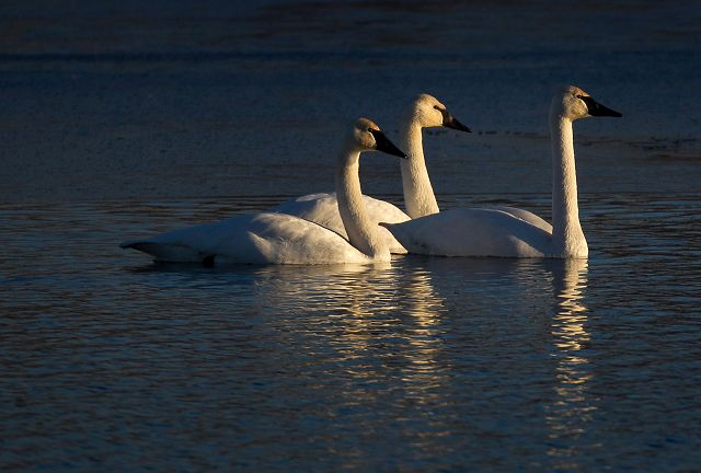 Open water, improved habitat for plants attracts trumpeter swans