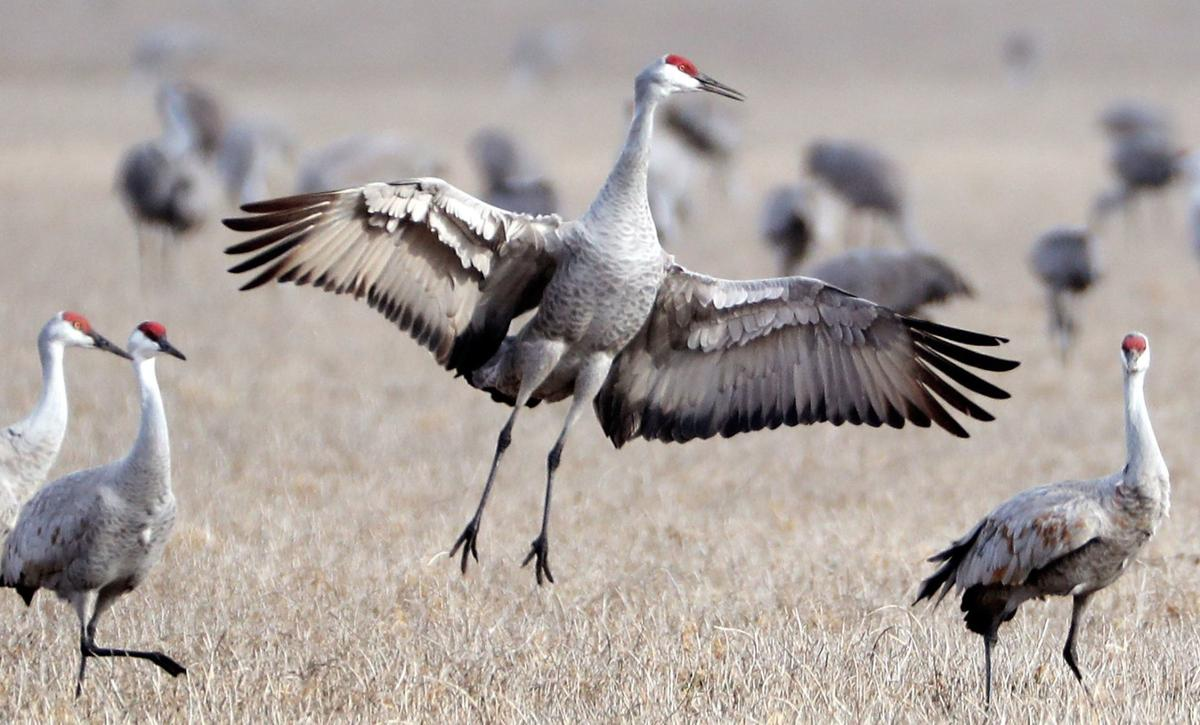 Sandhill Crane National Wildlife Federation >> Crane Iac Alert First Sandhill Cranes Arrive In Nebraska For A