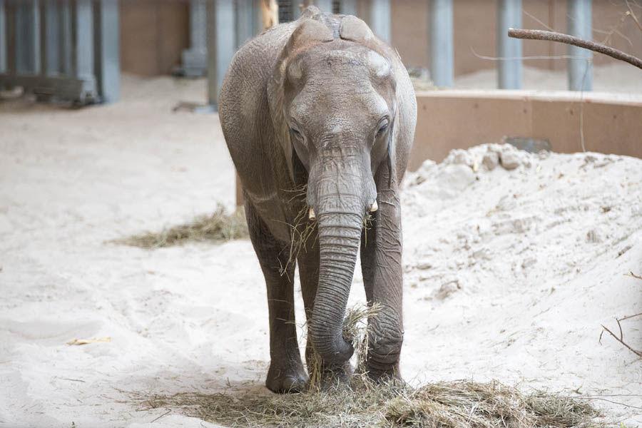 Elephant debut