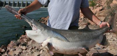 Iowa's paddlefish season set to begin March 1