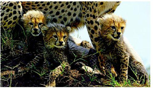 'Serengeti' covers wild life stories from different view