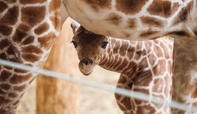 20190424_new_giraffe_pic9 (copy) (copy)