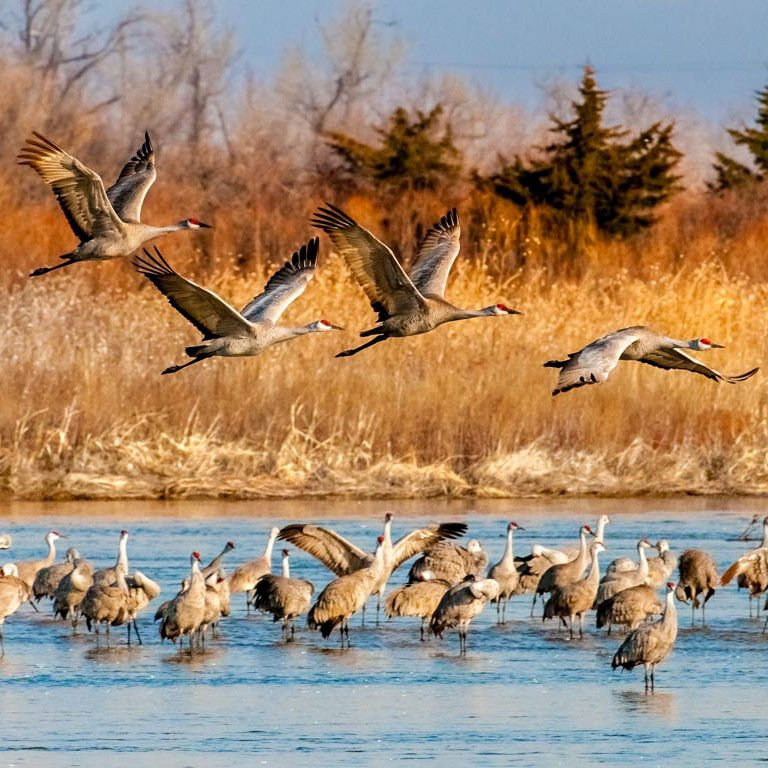 A Night With The Sandhill Cranes At The Crane Trust In >> Tourists Discover That Sandhill Cranes Aren T The Only Birds To