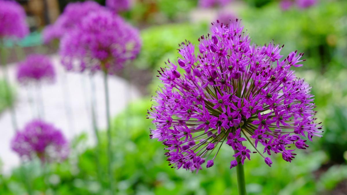 Allium_0162.jpg