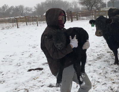 Nebraska blizzards have farmers working round the clock to keep new calves alive: 'You don't have very much time to save them'
