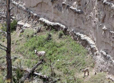 Pneumonia 'wreaking havoc' among bighorn sheep in Nebraska's
