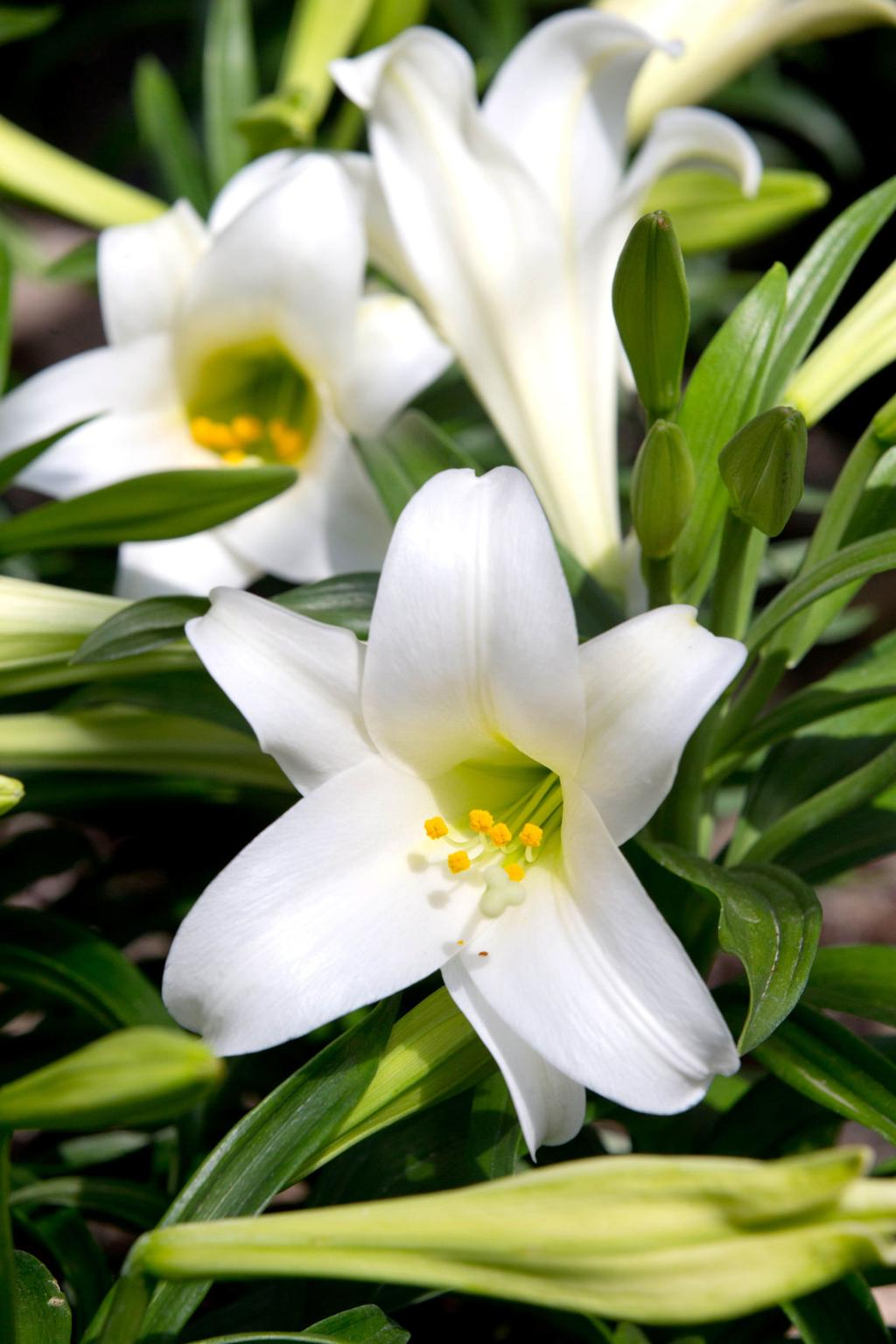From Lilies To Lambs Easter Symbols Hold Special