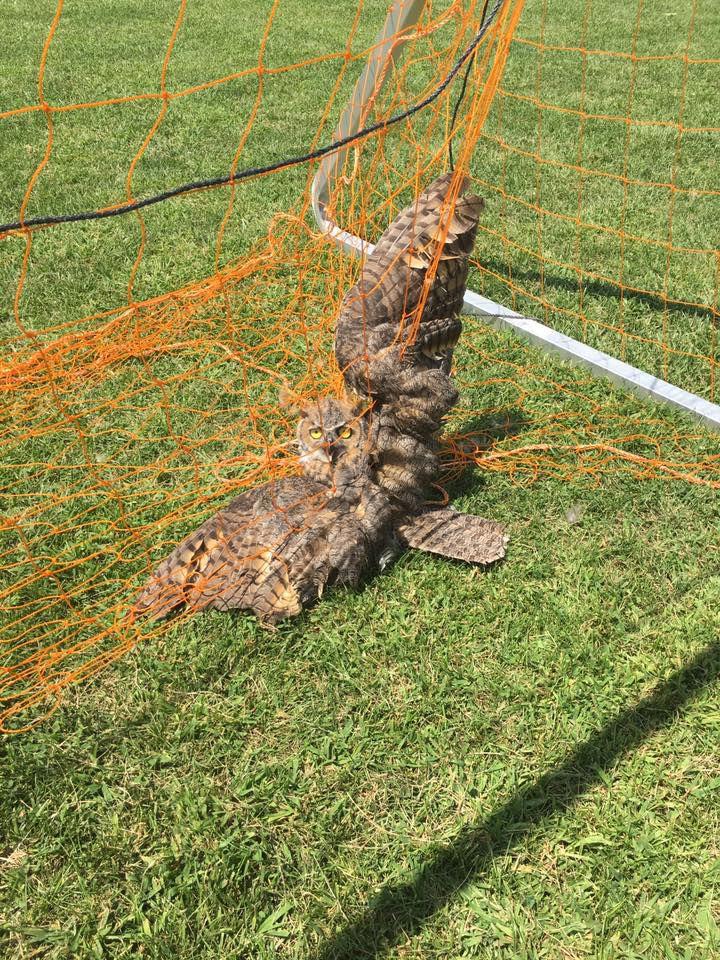 owl in soccer net