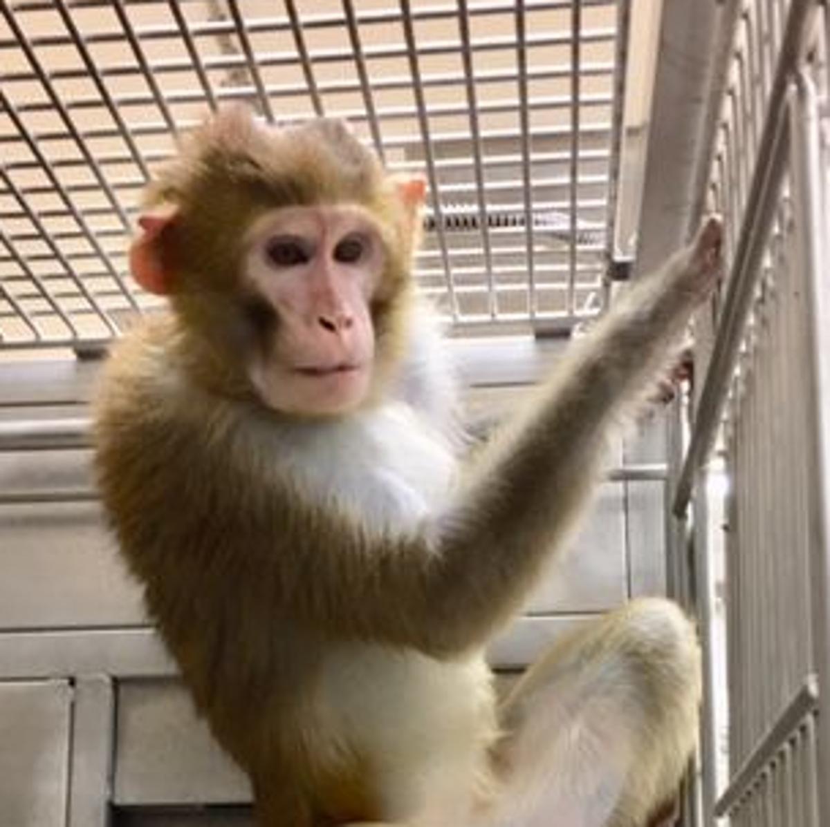 Research monkey dies in UNMC project   Omaha Metro   omaha com