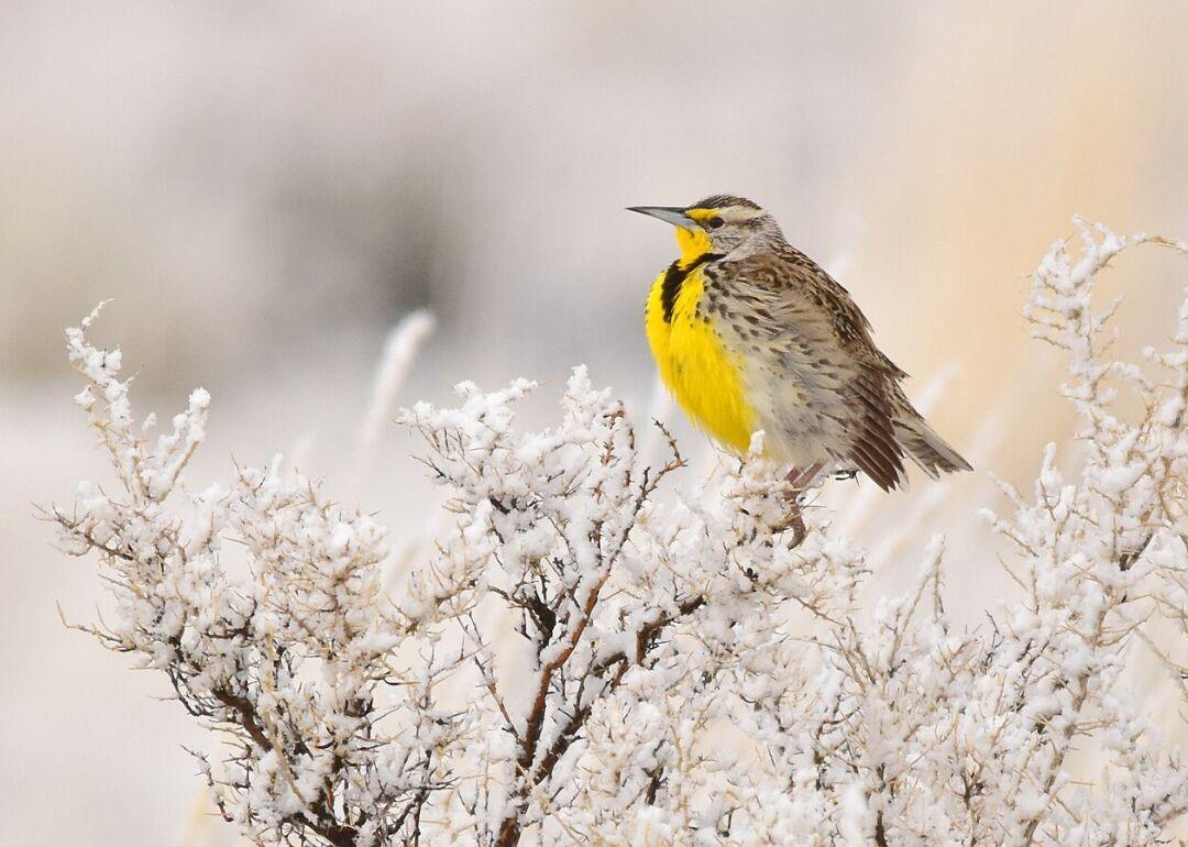 Nebraska: Western meadowlark