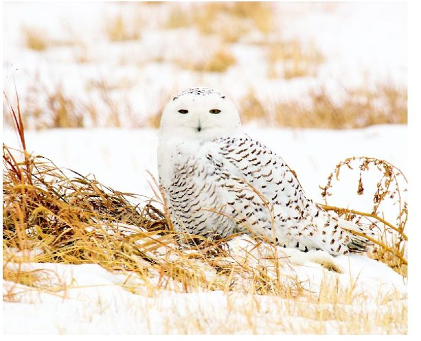 feel free to flock to see snowy owl but give it space articles