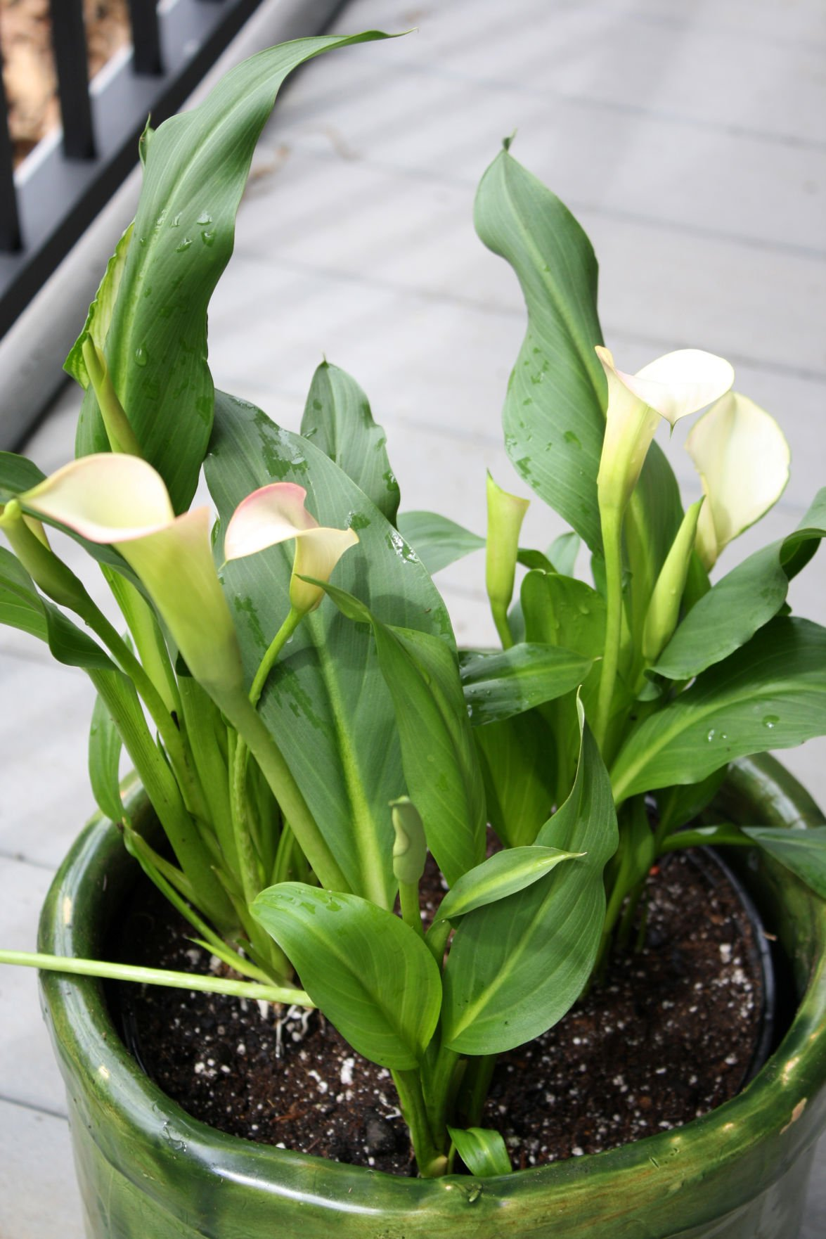 Riggenbach Needs Differ For Two Types Of Calla Lilies Living