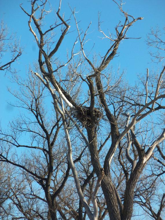 Keystone pipeline route near bald eagle nest ruffles feathers
