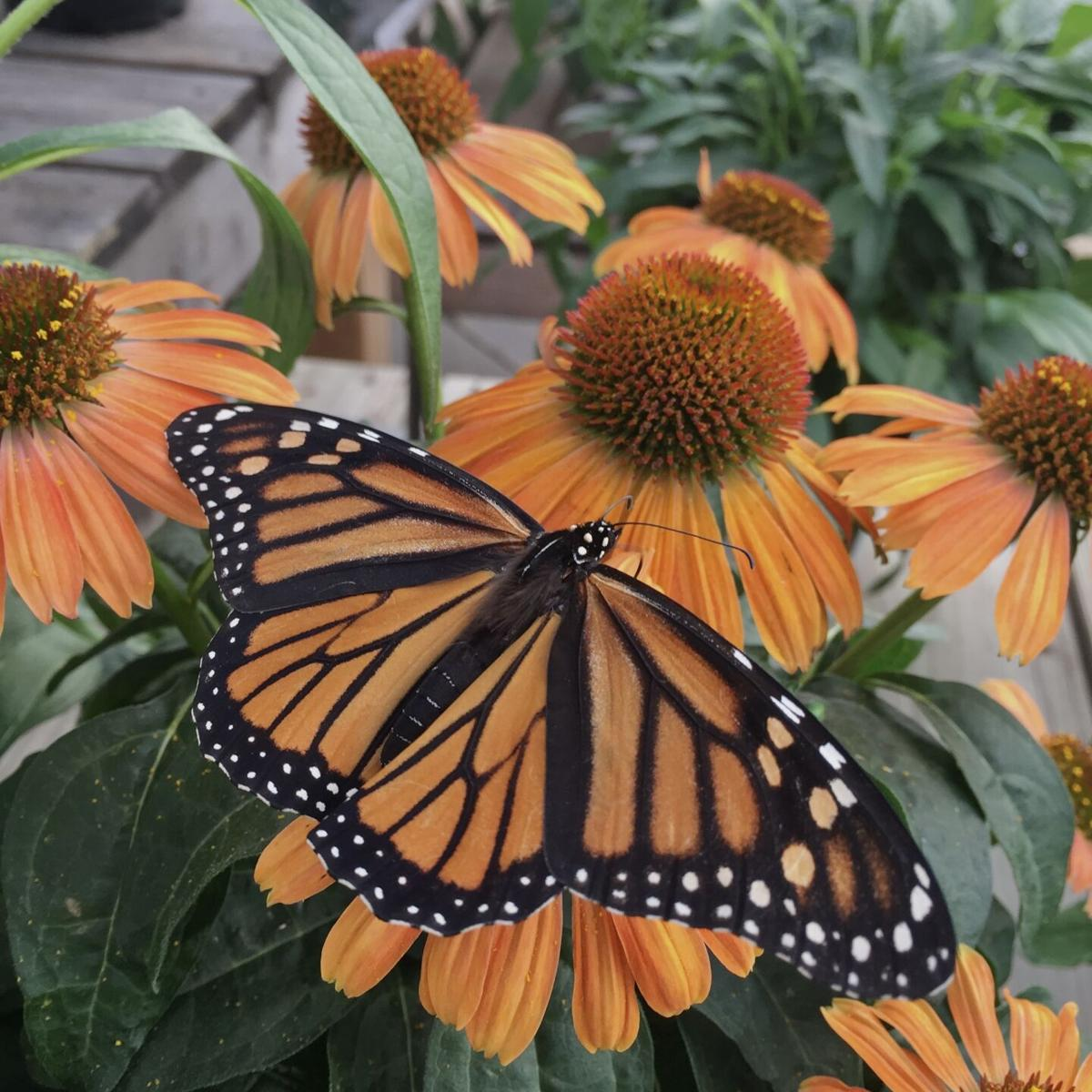 Monarch on blooms