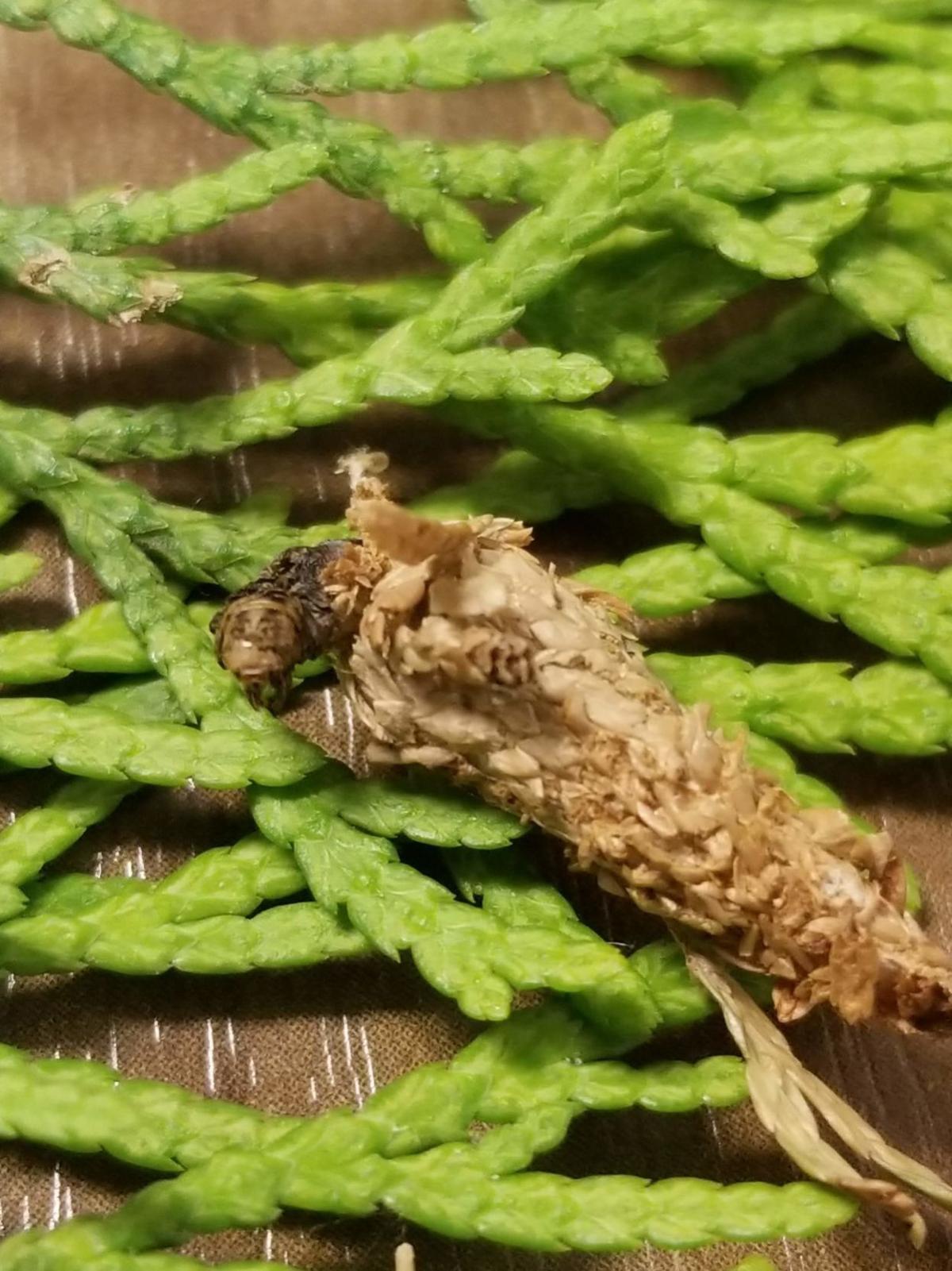 scottbagworm.jpg