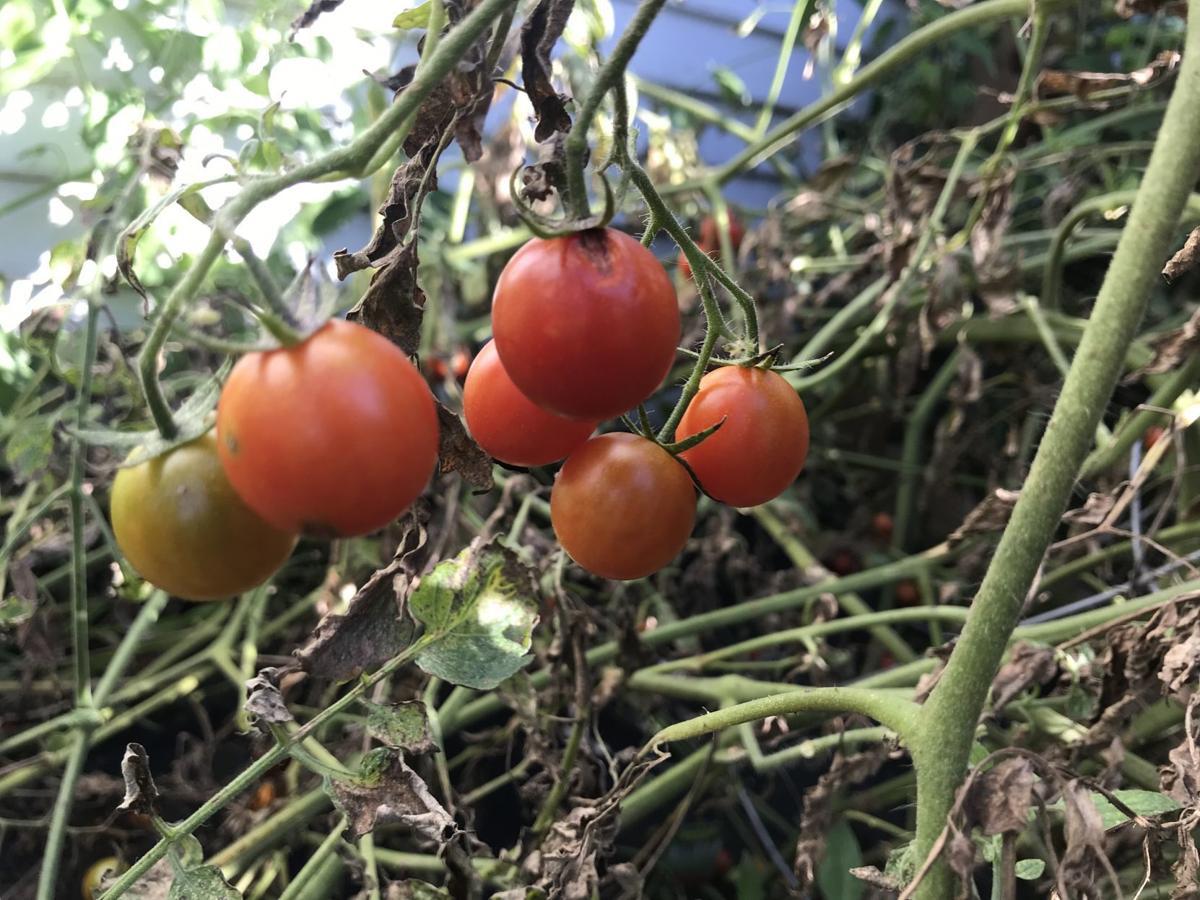 Tomatoes, 10/8