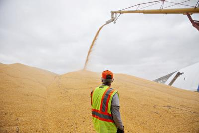 Corn slumps as U.S. output projection is bigger than expected