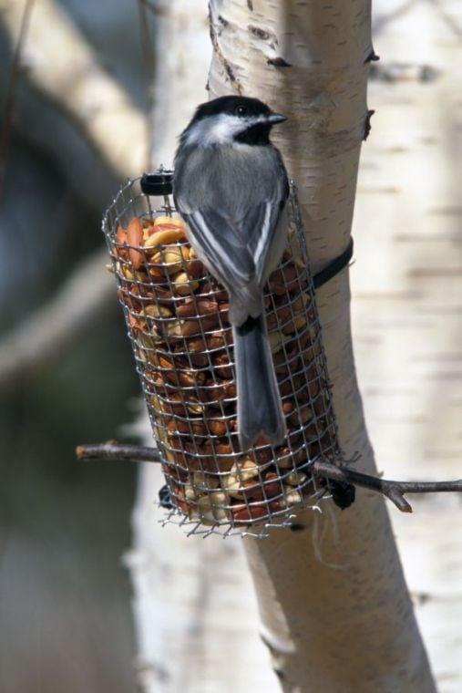 Backyard Bird Feeding: Tips for attracting a variety of ...