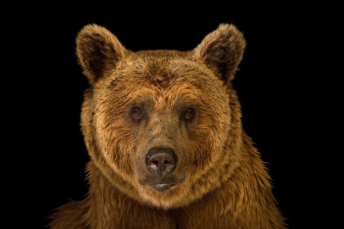 PhotoArc-bear-Joel Sartore.jpg