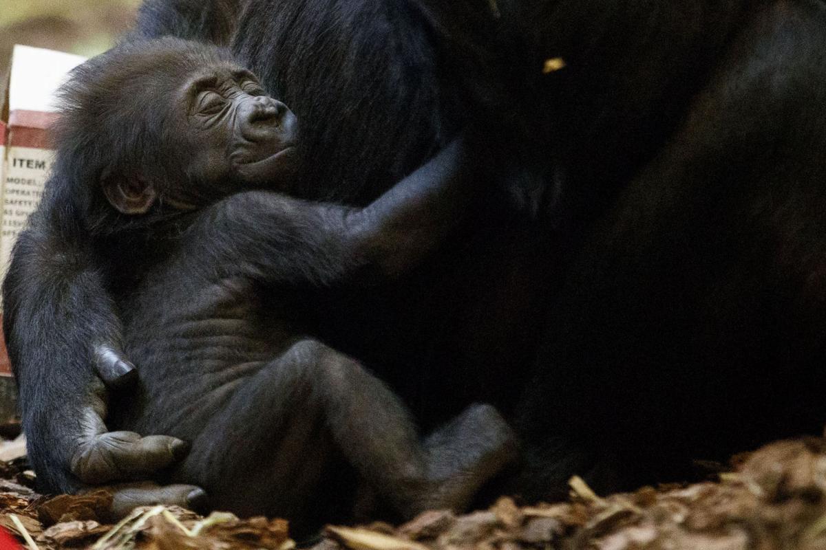 photos video omaha zoo introduces baby gorilla announces naming